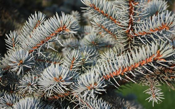 Wallpaper Fir twigs, needles