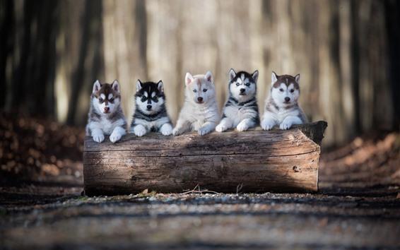 Wallpaper Five husky puppies