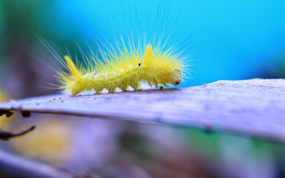 Wallpaper Furry caterpillar, insect
