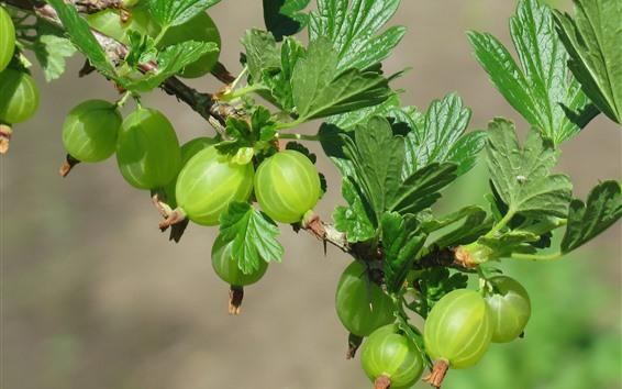 Обои Крыжовник, зеленые фрукты, листья, ветки