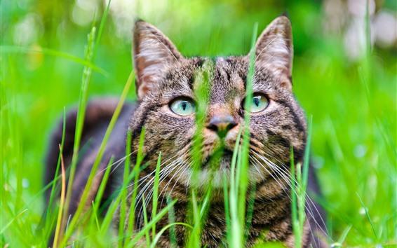 Wallpaper Gray kitten, grass