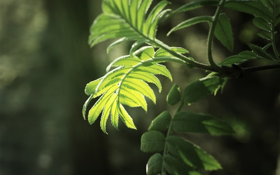 Wallpaper Green fern leaves, sunshine