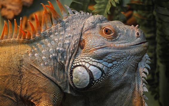 Papéis de Parede Iguana, lagarto, cabeça, olhos