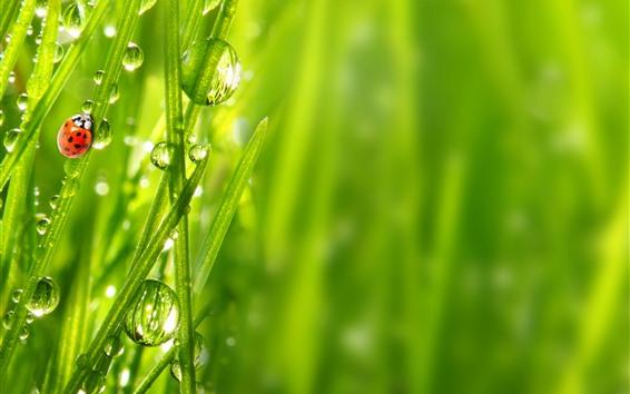 Fondos de pantalla Mariquita, hierba verde, gotas de agua