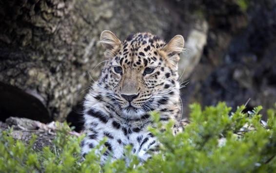 Wallpaper Leopard, face, hazy