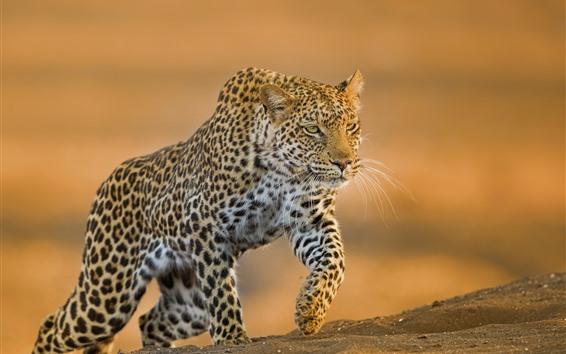 Papéis de Parede Leopardo andando, chão