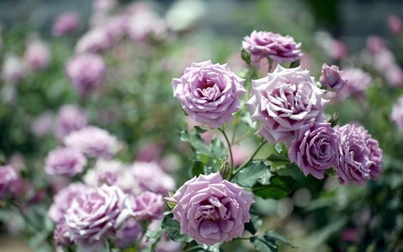 Fondos de pantalla Rosas de color púrpura claro, brillantes