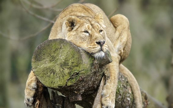 Wallpaper Lion, rest, stump