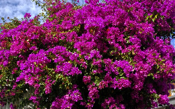 Wallpaper Many purple bougainvillea flowers blossom, spring