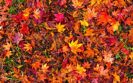 Wallpaper Many red maple leaves, ground, autumn