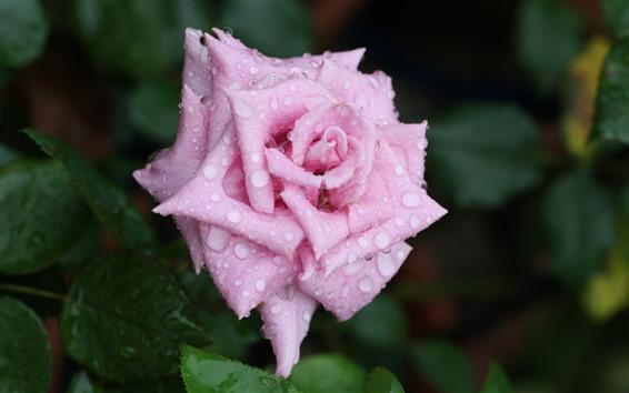 Fondos de pantalla Una rosa rosa, pétalos, gotas de agua.