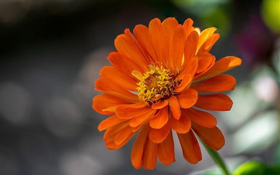 Fondos de pantalla Pétalos de naranja flor, Zinnia