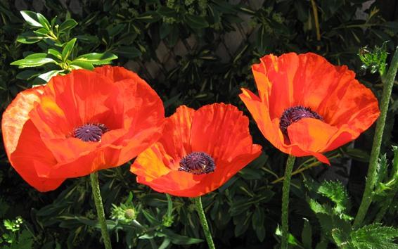 Papéis de Parede Papoilas alaranjadas, flores, haste, mola