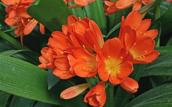 배경 화면 난초, 오렌지 꽃