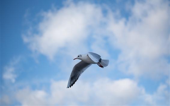 Fondos de pantalla Vuelo de Paloma, cielo azul, nubes, pájaro