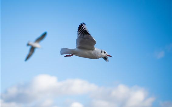 Papéis de Parede Vôo do pombo, asas, céu, pássaros