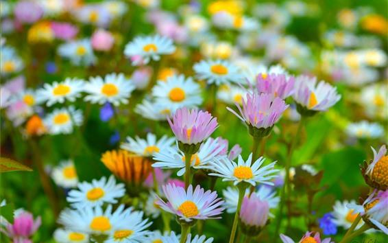 Fondos de pantalla Manzanilla rosa y blanca, flores, primavera