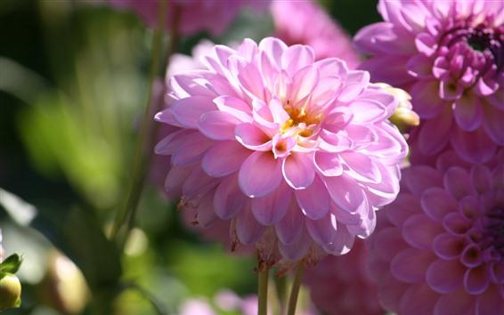 Fondos de pantalla Flor de dalia rosa, primavera, brillante.
