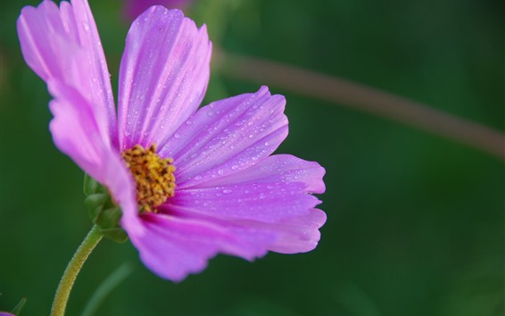 Fondos de pantalla Kosmeya rosa de cerca, pétalos, gotas de agua