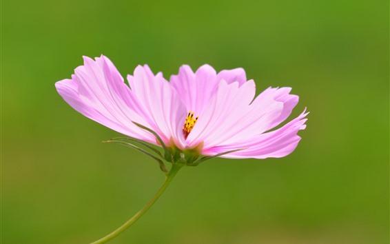 배경 화면 핑크 코스 메야 꽃 근접 촬영, 꽃잎, 녹색 배경