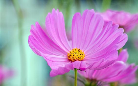 배경 화면 핑크 코스 메야 꽃 매크로 사진, 꽃잎