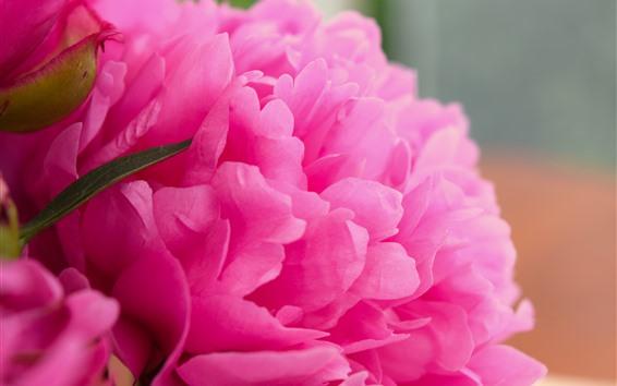 Fondos de pantalla Fotografía macro de peonía rosada