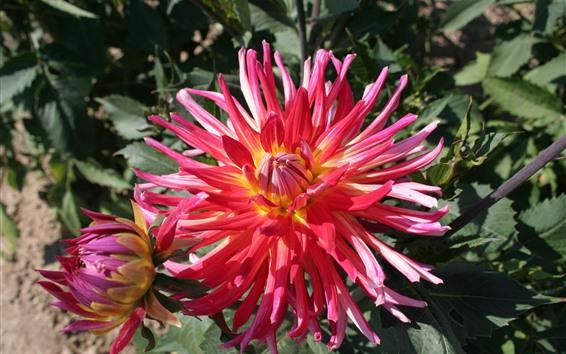 Papéis de Parede Dálias cor-de-rosa das pétalas, mola