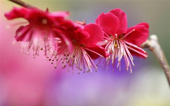 배경 화면 핑크 매화 꽃, 봄
