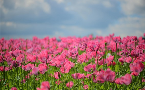 Fondos de pantalla Amapolas rosas, flores, brumoso