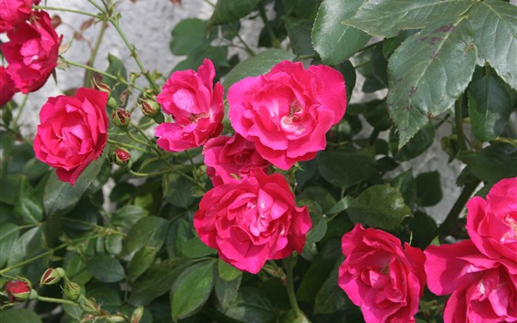Fondos de pantalla Rosas rosas, hojas verdes, primavera.