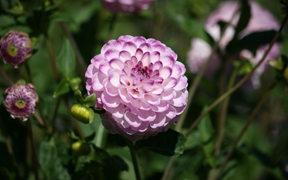 Fondos de pantalla Rosa pétalos blancos dalia, jardín.