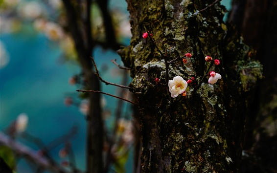 Papéis de Parede A ameixa floresce a flor, tronco, mola