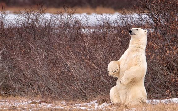 배경 화면 북극곰 서, 덤 불