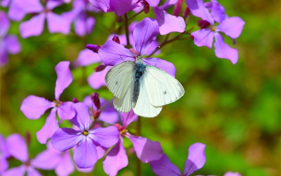 Wallpaper Purple flowers, white butterfly