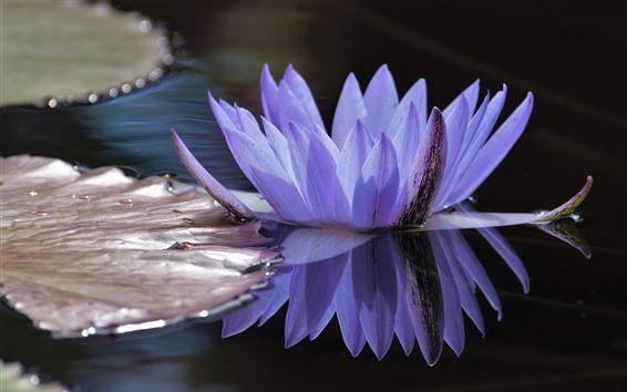 Fondos de pantalla Pétalos de agua púrpura lirio, estanque