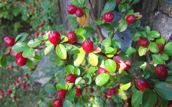 Wallpaper Red berries, green leaves, twigs