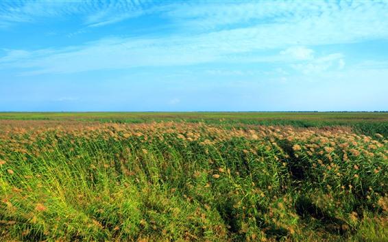 Fondos de pantalla Cañas, campos, cielo azul