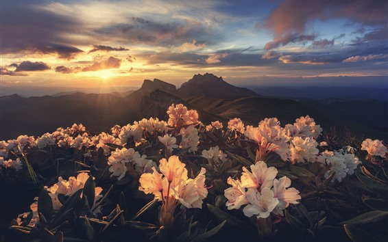 Wallpaper Rhododendron, mountains, sunrise, morning