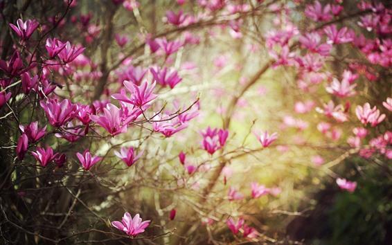 배경 화면 진달래, 분홍색 꽃, 나뭇가지, 봄