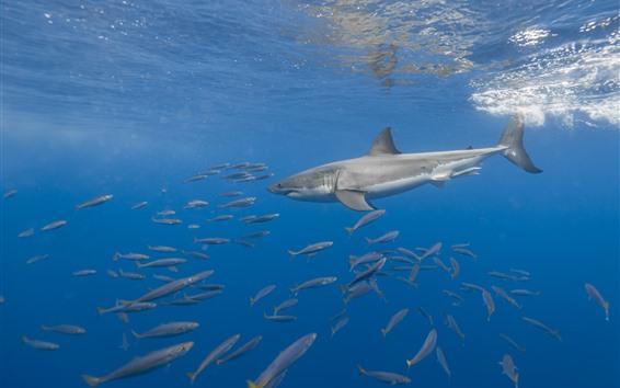 Fond d'écran Animaux de mer, requin, poisson, sous-marin