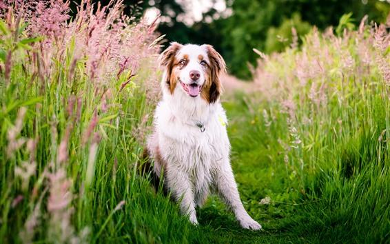 Papéis de Parede Cão pastor, flores cor de rosa