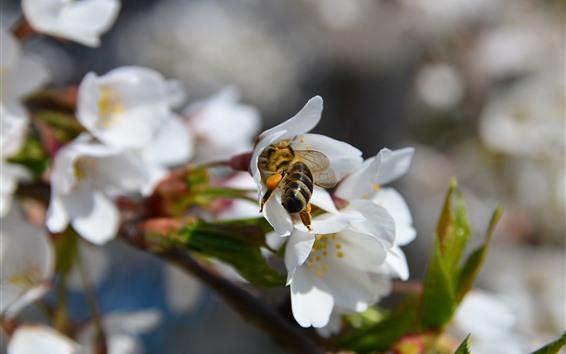 배경 화면 봄, 흰 꽃, 꿀벌