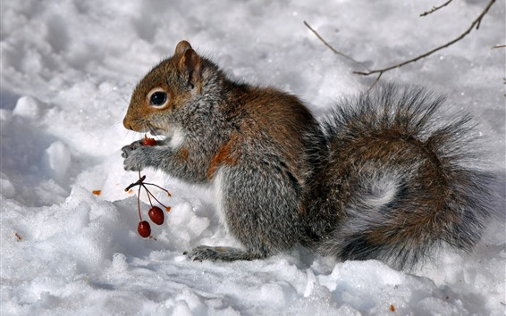 Обои Белка ест ягоды, снег, зима