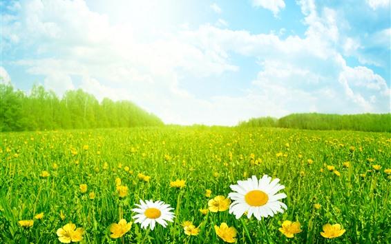 Wallpaper Summer, chamomile, green grass, sky, clouds, glare
