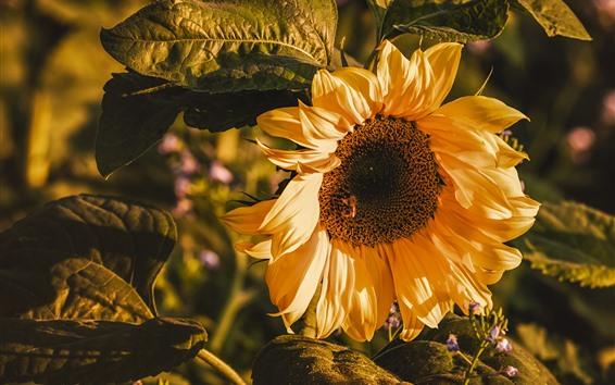 Fondos de pantalla Girasol macro fotografia, pétalos, hojas, verano.