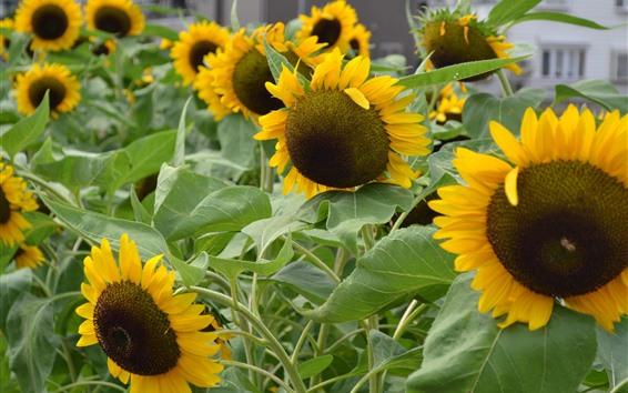 Papéis de Parede Girassóis, folhas verdes, verão
