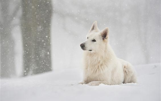 Fondos de pantalla Perro pastor suizo, nieve, invierno