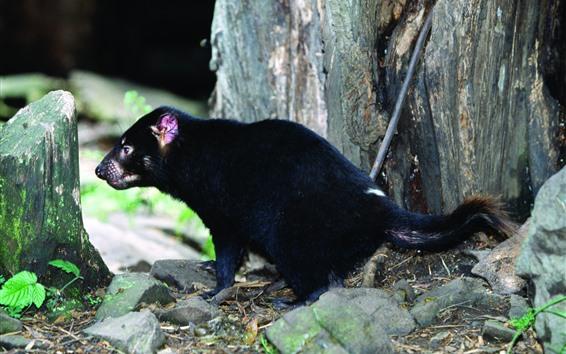 Wallpaper Tasmanian Devil, stump