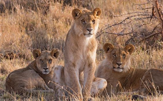 Papéis de Parede Três, leoa, savana, capim