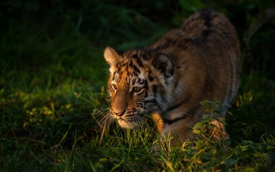 Fondos de pantalla Cachorro de tigre caminando en la hierba